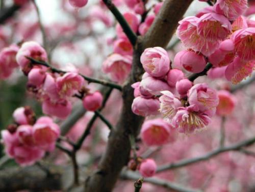 Plum_Blossom_close_Up-IMG_6733_3_-760x573
